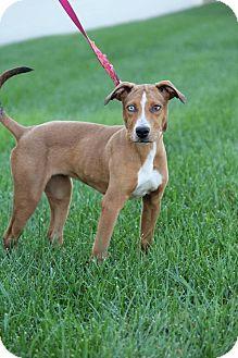 Labrador Retriever/Australian Shepherd Mix Puppy for adoption in New Oxford, Pennsylvania - India