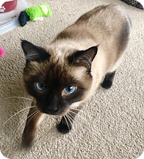 Siamese Cat for adoption in Franklin, Indiana - Cocoa