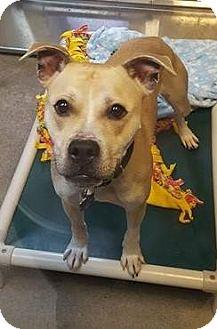 Pit Bull Terrier Mix Dog for adoption in Bellingham, Washington - Miles