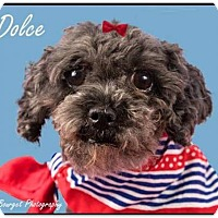 Adopt A Pet :: Dolce is Reserved - Kirkland, QC