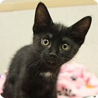 Adopt A Pet :: Buckeye - Naperville, IL