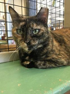Domestic Shorthair/Domestic Shorthair Mix Cat for adoption in Metairie, Louisiana - Gracie