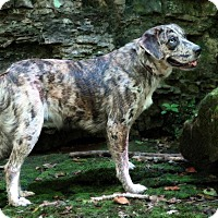 Australian Shepherd/Labrador Retriever Mix Dog for adoption in Rockingham, New Hampshire - Jazzlynn