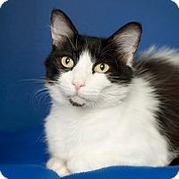 Domestic Mediumhair Cat for adoption in Coronado, California - Betty