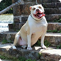 Pit Bull Terrier Mix Dog for adoption in Catasauqua, Pennsylvania - Walter