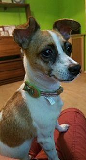 Jack Russell Terrier Mix Dog for adoption in Doylestown, Pennsylvania - Sue