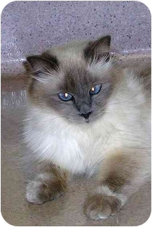Himalayan Cat for adoption in San Clemente, California - LILAC