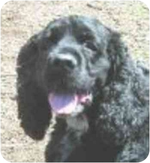 Cocker Spaniel Mix Dog for adoption in Eatontown, New Jersey - Doodles