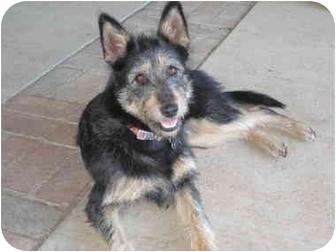 Schnauzer (Standard)/Border Terrier Mix Dog for adoption in Bellflower, California - Piper