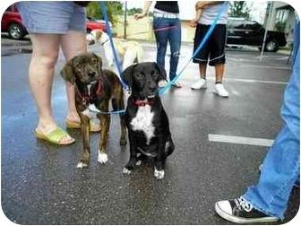 Labrador Retriever/Plott Hound Mix Puppy for adoption in Largo, Florida - Rico