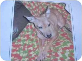Miniature Pinscher/Greyhound Mix Dog for adoption in Emporium, Pennsylvania - Jade