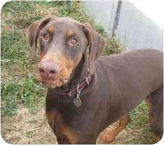Doberman Pinscher Dog for adoption in New Richmond, Ohio - Dakota--adopted