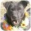 Photo 1 - Labrador Retriever Mix Dog for adoption in Cincinnati, Ohio - Sue