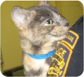 Domestic Shorthair Cat for adoption in Stillwater, Oklahoma - Chantilly