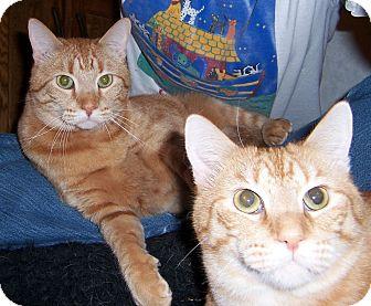 Domestic Shorthair Cat for adoption in Oklahoma City, Oklahoma - Donovan & Danny Boy