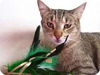 Domestic Shorthair Cat for adoption in Fountain Hills, Arizona - CAIRO