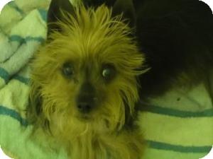 Yorkie, Yorkshire Terrier Dog for adoption in Philadelphia, Pennsylvania - Bella