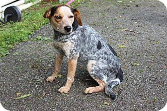 Blue Heeler Mix Dog for adoption in Laingsburg, Michigan - Molly