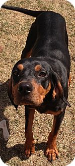 Black and Tan Coonhound Dog for adoption in Palatine, Illinois - Jethro
