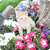 Adopt A Pet :: Cowboy - Clearfield, UT