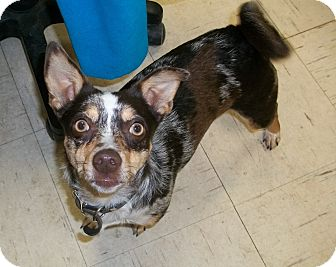 Chihuahua/Australian Cattle Dog Mix Dog for adoption in Martinsville, Indiana - Chevy