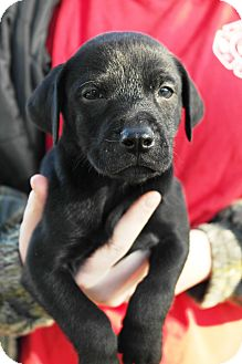 Pointer/English Pointer Mix Puppy for adoption in Starkville, Mississippi - Washington
