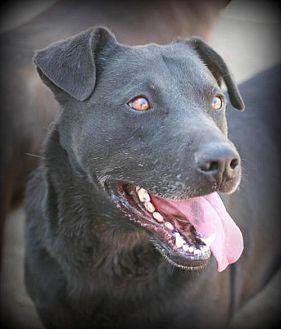 Labrador Retriever Mix Dog for adoption in Poland, Indiana - Quincy