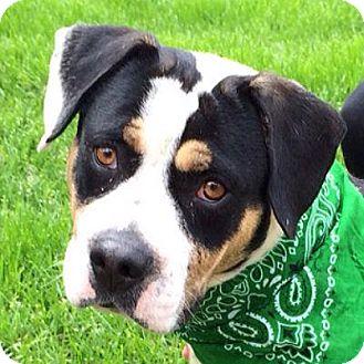 Bulldog/Beagle Mix Dog for adoption in Denver, Colorado - Louis