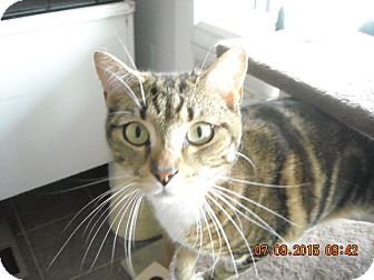 Domestic Shorthair Cat for adoption in Riverside, Rhode Island - Toby