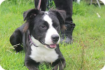 Border Collie Mix Dog for adoption in Waldorf, Maryland - Colleen
