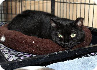 Domestic Shorthair Cat for adoption in Lowell, Massachusetts - Caroline
