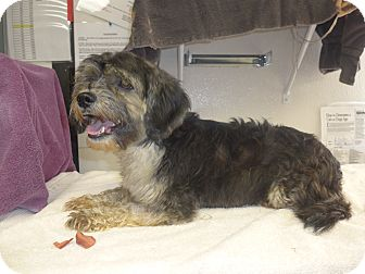 Silky Terrier/Poodle (Miniature) Mix Dog for adoption in Manning, South Carolina - Zoe