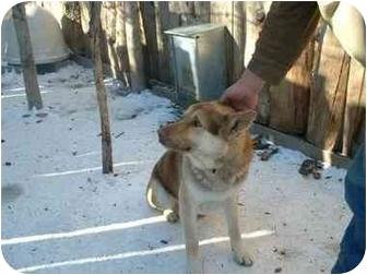 Siberian Husky/German Shepherd Dog Mix Dog for adoption in Makinen, Minnesota - Apache