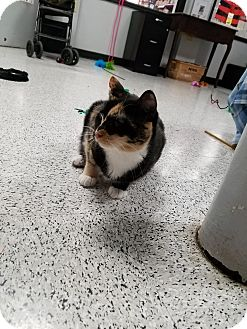 Domestic Shorthair Cat for adoption in Pasadena, California - Patsy