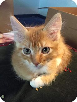 Domestic Mediumhair Kitten for adoption in Scottsdale, Arizona - Cress