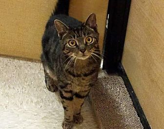 Domestic Shorthair Cat for adoption in Tampa, Florida - Mouzie