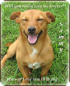 Corgi/Corgi Mix Puppy for adoption in Marlborough, Massachusetts - Sammy-One Good Dog!