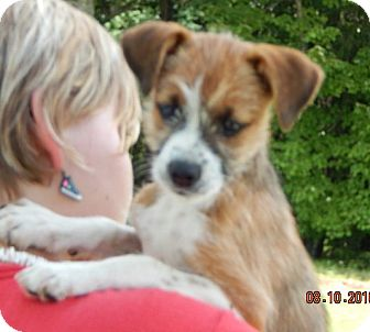 Wirehaired Fox Terrier/Papillon Mix Puppy for adoption in Burlington, Vermont - Baloulah (8 lb) Video!