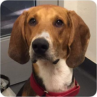 Hound (Unknown Type) Mix Dog for adoption in Ithaca, New York - Trigger