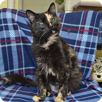 Domestic Mediumhair Cat for adoption in Wheaton, Illinois - Dahlia