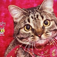 American Shorthair Kitten for adoption in Santa Fe, Texas - Mimsy