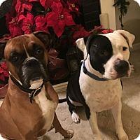 Adopt A Pet :: Samson, I am a great boy! - Sacramento, CA