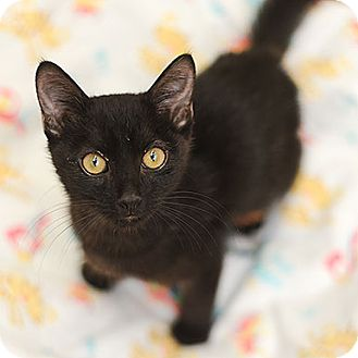Domestic Shorthair Cat for adoption in Kanab, Utah - Maddox