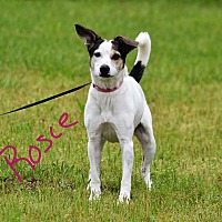 Terrier (Unknown Type, Medium)/Shepherd (Unknown Type) Mix Dog for adoption in Lebanon, Missouri - Rosie
