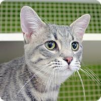 Adopt A Pet :: Milagro - Troy, MI