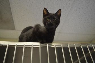 Domestic Shorthair/Domestic Shorthair Mix Cat for adoption in Martinsville, Virginia - Chocula