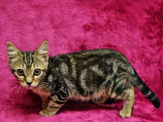 Domestic Mediumhair Kitten for adoption in Naples, Florida - HEATHER