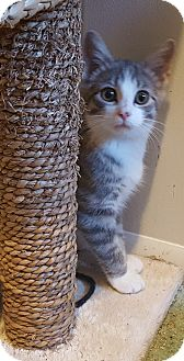 Domestic Shorthair Kitten for adoption in Irwin, Pennsylvania - Ridlee