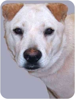 Alaskan Malamute/Chow Chow Mix Dog for adoption in Grass Valley, California - Kona