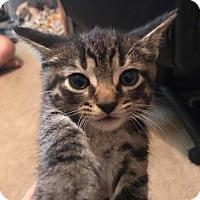 Adopt A Pet :: Tater - Lorain, OH